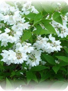 Deutzia törpe gyöngyvirágcserje Pyrus, Nikko, Garden, Plants, Garten, Lawn And Garden, Gardens, Plant, Gardening