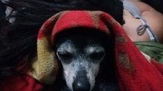 Cão egípcio