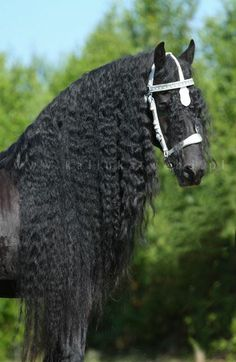 Look at that mane! Friesian horse black stallion dressage