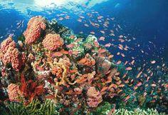 living corals at tubataha reef