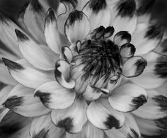 Black&white dahlia
