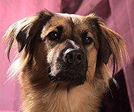 Akita Chinese Sharpei Chow Chow Dachshund Dog Dogs Online