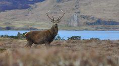 Stag on shores of Loch Assynt. photo by Gordon Nicol