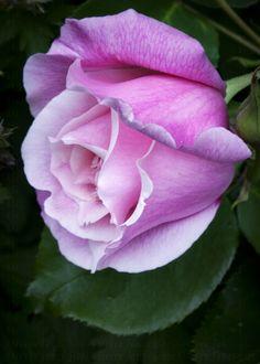 """""""Lisa & Peter Welton's Rose"""" by Steven J Gibbs on flickr"""