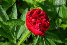 Pioni helmeilee ja alkaa pullistella | Vesan viherpiperryskuvat – puutarha kukkii