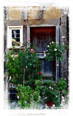 #Yard  #Roses