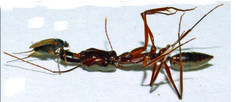 A female fly (D. longirostrata) pulling the head off an injured lock-jaw ant (Odontomachus).<br />