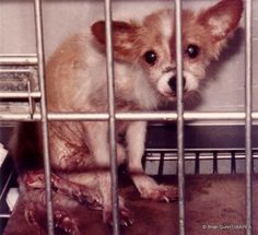 In this animal testing picture this dog's leg has been shattered by repeated blows from a hammer. This experiment was performed in order to induce a state of psychological stress. The wound was left undressed. No anaesthetic was given during the course of this cruel barbaric experiment. For information on research animal testing facts, statistics and animal experimentation laws please visit www.iaapea.com.    © Brian Gunn /IAAPEA  Makes me sick! If there is a revolt these aholes are goin…