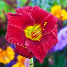 The Most Popular Daylilies Ideas Are On Pinterest Day