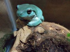 """A """"blue"""" Dumpy White's Tree Frog.I miss mine! Wild Creatures, All Gods Creatures, Dumpy Tree Frog, Whites Tree Frog, Amazing Frog, Red Eyed Tree Frog, Cute Frogs, Frog And Toad, Reptiles And Amphibians"""