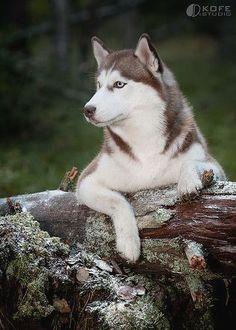 Siberian #Husky
