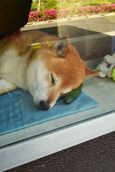 "He likes to nap on zucchini, too. | This Shiba Inu ""Works"" At A Little Shop In Japan And It Is Precious"