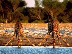 Enquanto umas bebem, outras estão de vigilância a possíveis predadores.