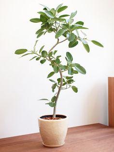 美しい樹形の観葉植物を、より上質な鉢でコーディネート。おしゃれな1点もの鉢植え観葉植物の通販/インテリアプランツショップ。自然の息吹をお部屋に。観葉植物と暮らそう!