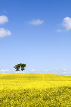 Rapeseed field in Scotland, used in making Canola oil