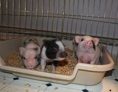 Micro Pig - I am getting one