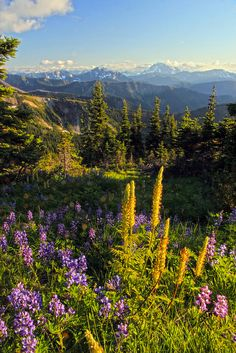 Flowers on Lakeview Ridge Pacific Crest Trail, Pasayten Wilderness by i8seattle, via Flickr