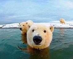 Polar Bears                                                       …