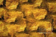 Golden leaves by Veikko Suikkanen Multiple Exposure, Golden Leaves, Finland, Fine Art America, Photo Art, Digital Art, Art Deco, Design Inspiration, Wall Art
