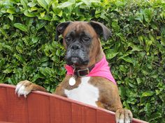 Paris the boxer dog | Flickr - Photo Sharing!