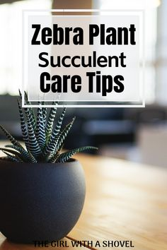 succulent garden care Do you have one of these awesome succulents! Learn exactly what it want to stay happy and healthy with this post on zebra plant succulent care! Best Indoor Plants, Cool Plants, Perfect Plants, Indoor Garden, Growing Succulents, Planting Succulents, Potted Plants, House Plants Decor, Plant Decor