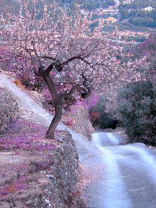 Almond trees bloom at my childhood heels, Alicante, Costa Blanca, Spain