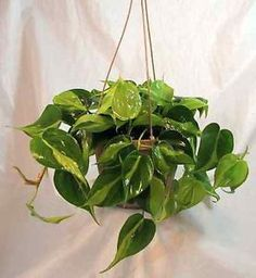 I have a lot of friends who tell me they wish they could have as many indoor plants as I do but they are plagued with a brown thumb. Nonsense! I, too, used to think I was plagued with a brown thumb but...