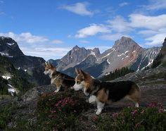 The brave mountain Corgi.......hellooooooo down there.....nope you go first :)   Beautiful!!