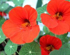 Imagens de Flores Capuchinhas