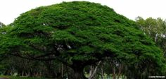 Albizia saman - Rain tree - Ajaytao