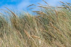 """""""Ocean Beach Grasses""""  Click the """"pinned from"""" link to purchase this print."""