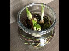 Jednoduchá dekorácia z jarných cibuľovín – lanatvori.sk Celery, Vegetables, Plants, Food, Essen, Vegetable Recipes, Meals, Plant, Yemek