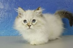 Boo Bear - Seal Mitted Lynx Pointed Minuet Munchkin Cat Kitten from www. Ragdoll Kittens For Sale, Munchkin Kitten, Kitten For Sale, Cats For Sale, Cats And Kittens, Cat Whisperer, F2 Savannah Cat, Cat Costumes, Fluffy Cat
