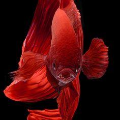 """Close up of Siamese fighting fish"" by ©Visarute Angkatavanich"