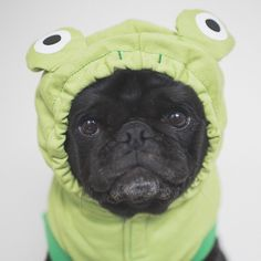 This week's pug photo challenge is all about the colour green. So let's see those photos showing off the colour green whether it's a costume green grass or something Christmas-y. Don't forget to tag them #tpd_green #thepugdiary