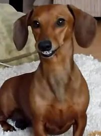 A doxie grin caught on video while playing with her stuffie.