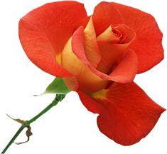 Index of /gukunda Orange Roses, Red Roses, Rosa Individual, Decoupage, Light Pink Rose, Cross Stitch Rose, Dmc Floss, Beautiful Patterns, Rose Buds