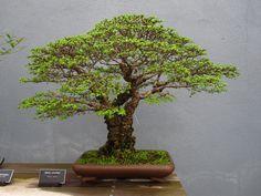 http://www.bbg.org/gardening/article/bonsai_styles