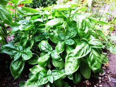 Here are eleven beautiful and fragrant plants that repel mosquitoes - keeping your home and garden mosquito free. Healing Herbs, Medicinal Herbs, Herb Garden, Garden Plants, Nature Plants, Potted Plants, Repelir Mosquitos, Pruning Basil, Culture D'herbes