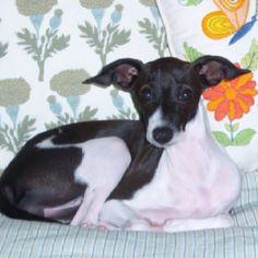 Little Maddie, my Italian Greyhound