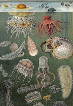 1905 Sea Life - Jellyfishes, Siphonophores, Sea Cucumbers, Salps, Sea Snails, Sea Gastropods, Ctenophora or Comb jelly, Sepiidae, Annelid, Amphipoda Antique Chromolithograph.