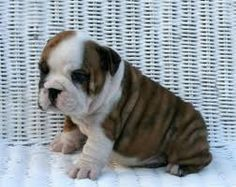 english bulldogs---absolute FAVORITE dog ever.