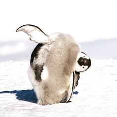"""""""When the world seems upside down and you think, maybe if I just turn. Emperor Penguin, Schmidt, Penguins, Annie, Twitter, Animals, Animales, Animaux, Penguin"""