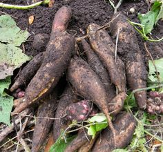 8 Staple Root Crops You Can Hide in Plain Sight - Yacon is sweet and refreshing.