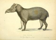 Tapir. The wonders of the animal kingdom : London :T. Kelly,1830.