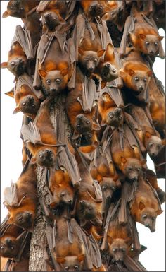 Justin Matthew : These guys are hanging out! Little red flying fox photographed in Queensland, Australia