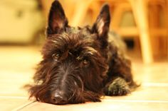 They're professionals at puppy dog eyes. | 21 Reasons Scottish Terriers Are The Champions Of Our Heart