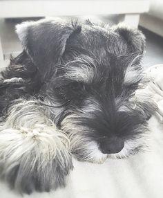 Miniature schnauzer puppy.