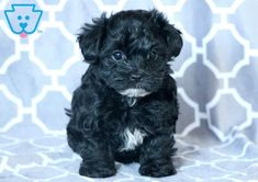 Sasha | Morkiepoo Puppy For Sale | Keystone Puppies  #Morkiepoo #keystonepuppies