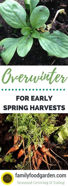 Vegetables for Overwintering Plan for early spring harvests! A great list of crops to overwinter for zone for early spring harvests! A great list of crops to overwinter for zone List Of Vegetables, Winter Vegetables, Growing Vegetables, Fall Crops, Winter Crops, Autumn Garden, Spring Garden, Organic Gardening, Gardening Tips